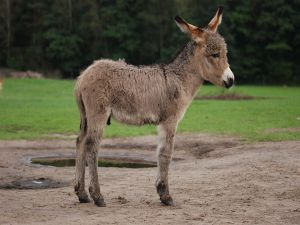 A young donkey with three weeks of age