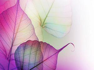 Transparent purple leaves