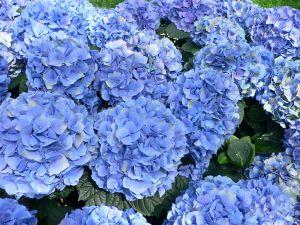 Big bluish hydrangeas