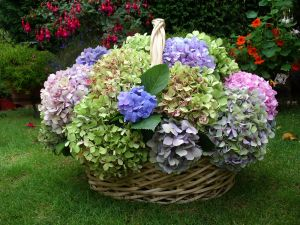 Wicker basket with colored hydrangeas