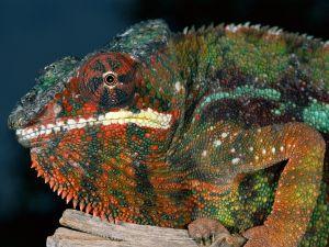 Chameleon multicolor