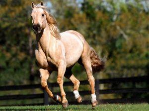 Cinnamon colored horse