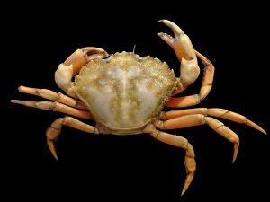 Common Sea crab