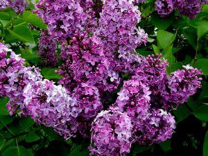 Set of lilacs