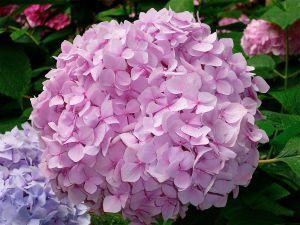 Hydrangea pink colored