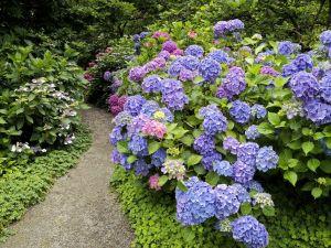 Garden with hydrangeas