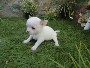 Small white chihuahua
