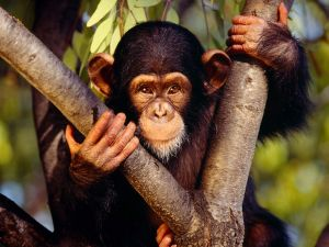 Small chimpanzee with a tender look