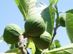Big green figs