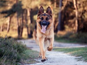 German shepherd running with his tongue out