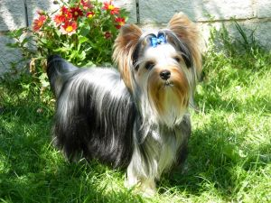 Beautiful Yorkshire dog with a blue ribbon