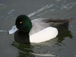 Duck with a beautiful plumage