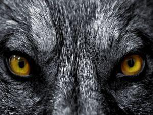 Gaze wolf