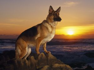 German Shepherd on a beach at sunset
