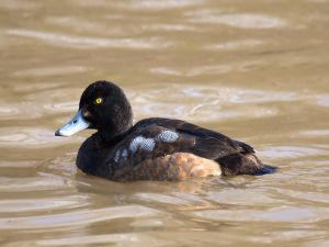 Duck in brown waters