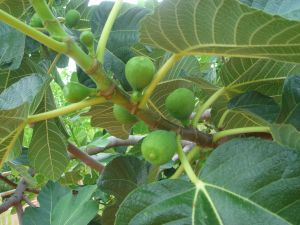 Fig tree with green fruits