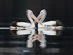 Australian pelicans in Claremont, Tasmania, Australia