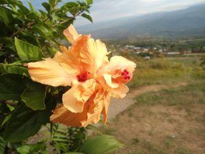 Flower solitary