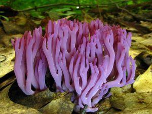 Violet coral or Magenta coral (Clavaria zollingeri)