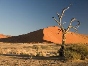 Camel Thorn Tree (Acacia erioloba)