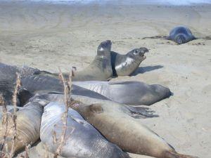 Northern elephant seals near San Simeon, California