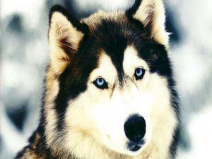 Face of a Siberian Husky