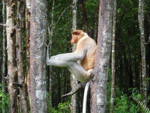 Proboscis monkey between two trees