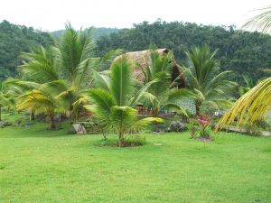 Young coconut palms