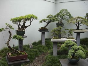 Bonsai trees in a exhibition at Chinese Garden of Sydney, Australia