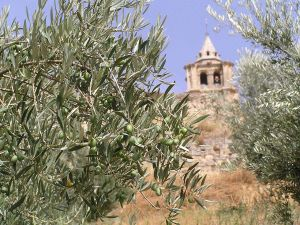 Olive tree with its fruit still green in Alcala la Real (Jaén, Spain)