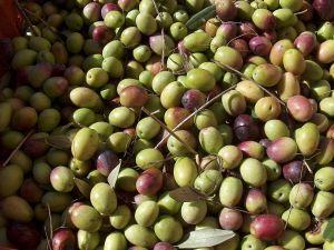 Olives for oil