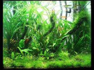 Water garden full of Cryptocoryne species