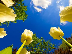 Yellow tulips seen from the ground