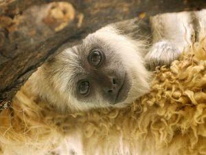 Sad-eyed monkey