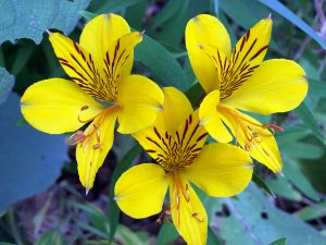 Three yellow alstroemeria