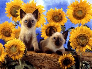 Two Siamese cats surrounded by sunflowers