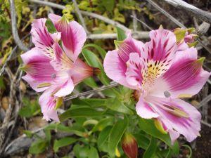 Pink astromelias