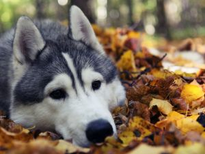 Husky with his head resting over a leafs
