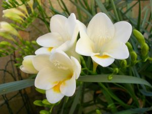 Freesias opened