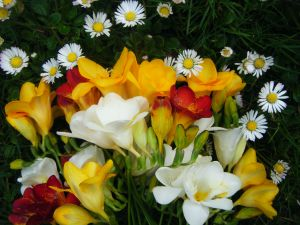 Bouquet with colorful freesias and white daisies