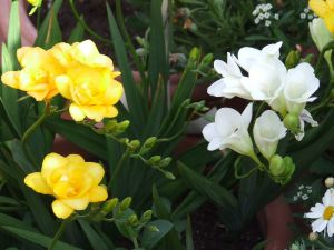 Bouquet with white and yellow freesias