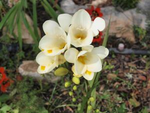 Freesias in the garden