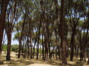 Pine forest of the Seven Sisters, Casa de Campo (Madrid, Spain)