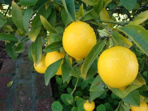 Lemon tree with beautiful lemons