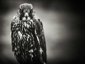 Hawk in black-and-white