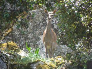 Deer (Cervus elaphus)