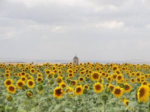 Sunflowers with a bell tower in the background