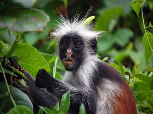 Monkey with black face and white hair