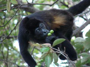 Black monkey picking fruit