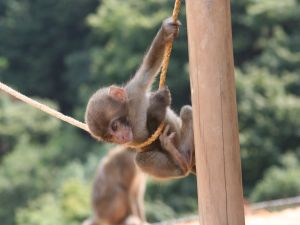 Small monkey hanging from a rope